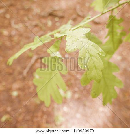Retro Looking An Oak Tree Leaf