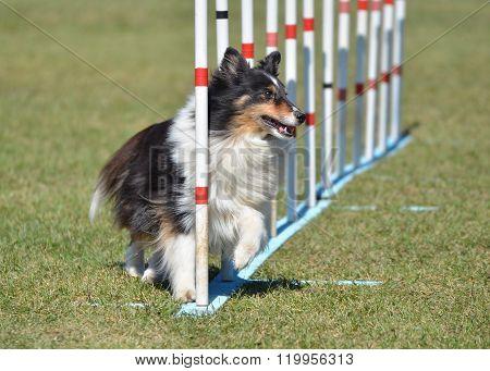 Shetland Sheepdog (sheltie) At Dog Agility Trial