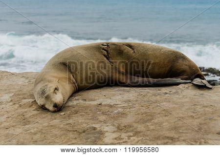Single Sleeping Sea Lion Side View
