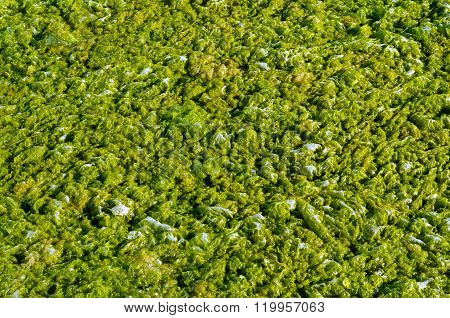 Green Algae With Water.