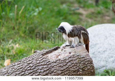 Tamarino Edipo Primate
