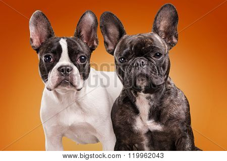 French Bulldogs Over Orange Background