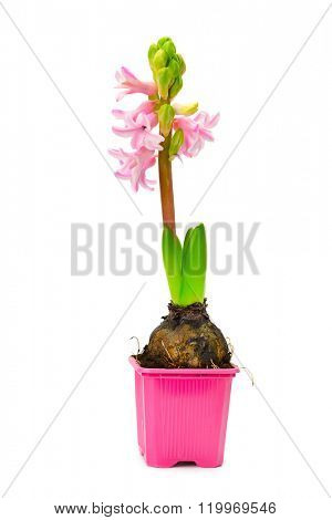 Small hyacinth in pot isolated on white