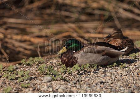 Wild Mallard duck bird