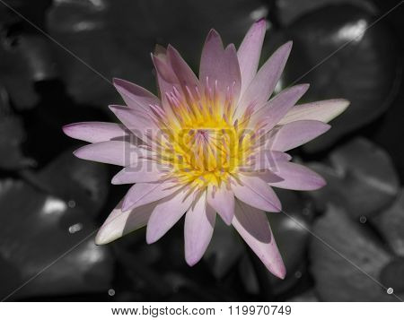 A Beautiful Pink Waterlily Or Lotus Flower In Black Background