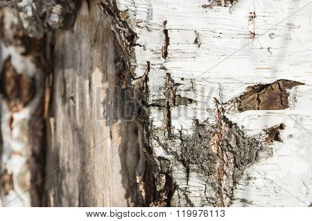 The Bark Of Birch Tree Close Up