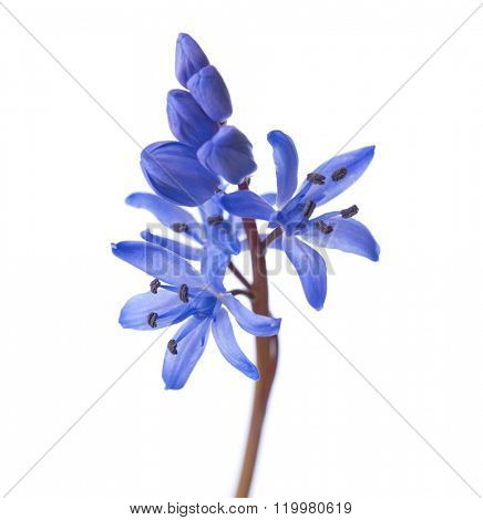Close-up of Siberian Squill (Scilla siberica). Early spring flower isolated on white background. Shallow DOF.
