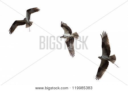 Osprey Bird Over White