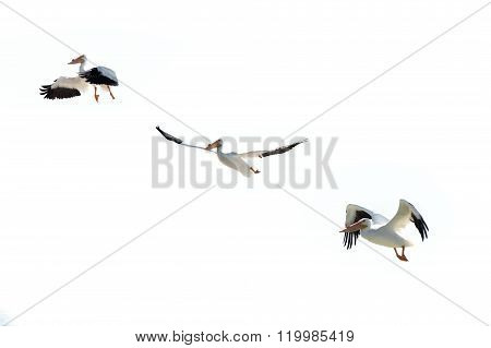 Pelican Over White Background