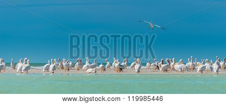 White Pelicans Colony Florida's Wildlife