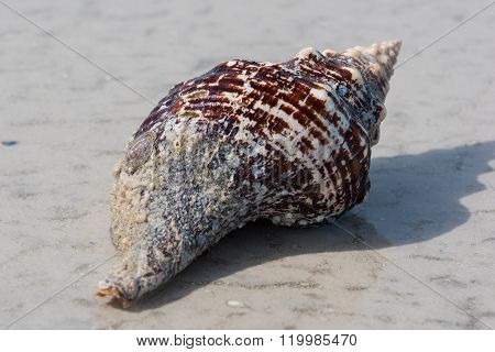 Large Conch Shell On The Beach