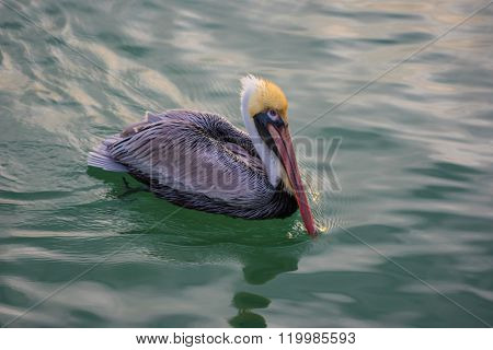 Brown Pelican In The Water