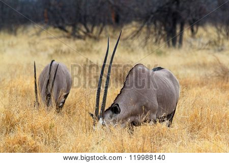 Grazing Gemsbok, Oryx Gazella