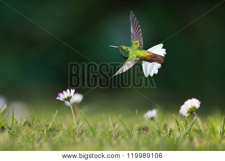 Hummingbird In Motion In The Field