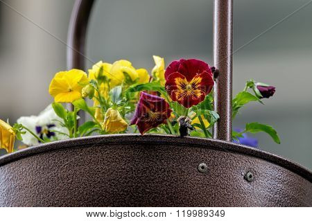 Violets In A Pot 2