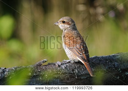 Young Red-backed Shrike, Russia