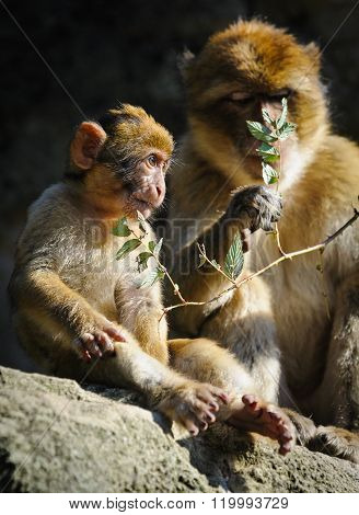 Young Barbary Macaque Next To An Adult Female