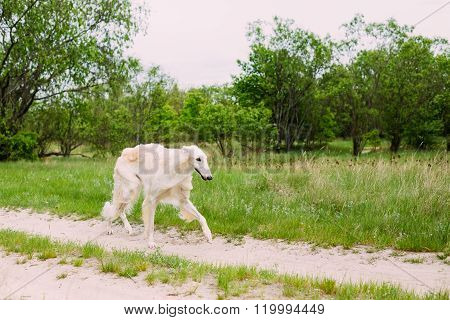 Beautiful White Russian Borzoi Borzaya Hunting Dog running in fo