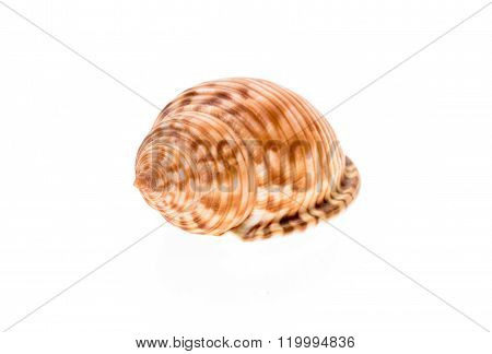 Helmet Sea Shell - Galeodea Echinophora. Empty House Of Sea Snail