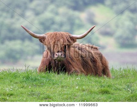 Scottish Highlands Bull