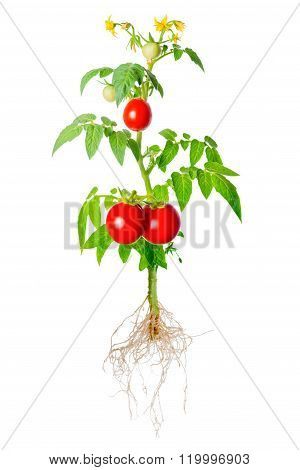 Young Seedling Of Fresh Green And Red Tomatoes Fruit And Flowers With Exposed Roots Is Isolated On W
