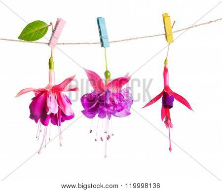 Beautiful Hybrid Of Fuchsia Flowers Handing On Rope With Colorful Clothespin Is Isolated On White Ba