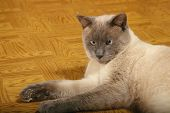 Lilac-Point Siamese