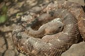picture of western diamondback rattlesnake  - Western Diamondback Rattlesnake Resting in the Warm Sun - JPG