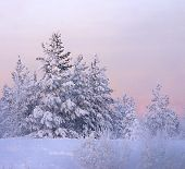 image of winter scene  - snow-bound fir-tree on a background picturesque sunset and in winter haze