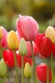 Постер, плакат: Tulip flower for the holiday
