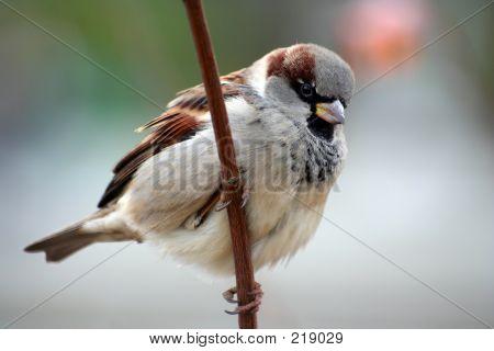 Sparrow Aka Passer Domesticus