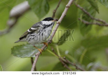 Blackpoll Warbler _Mg_1870