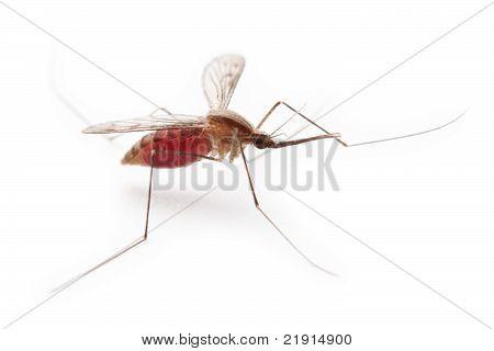 Gnat or mosquito