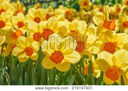 poster of Bright vivid yellow daffodils flowers blooming on sunlit spring meadow against serene blue sky