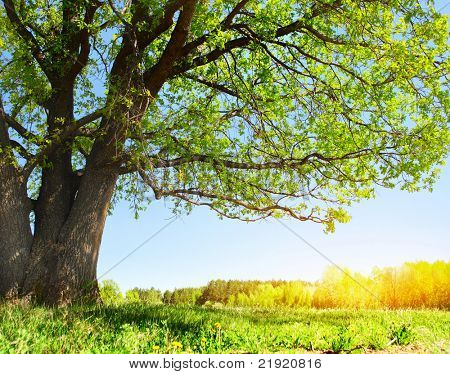 Big tree with green leaves on green spring meadow with flowers