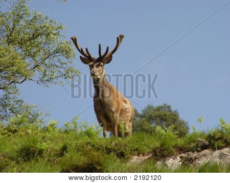 Fine Red Deer Stag