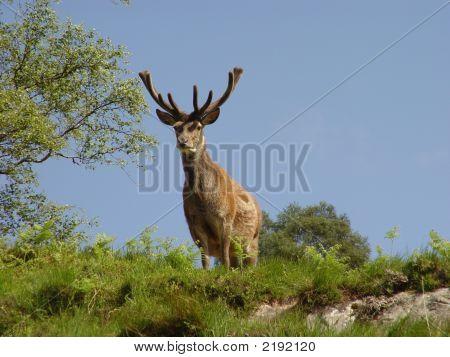 Fine Red Deer Stag