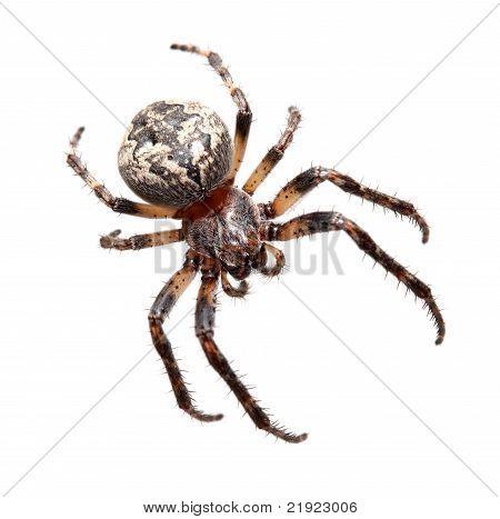 Garden Spider (araneidae)