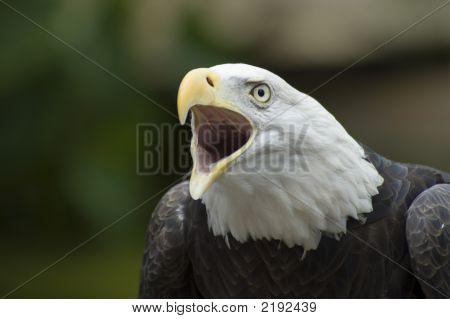 Eagle Squawking