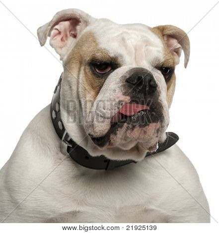 Close-up of English Bulldog, 1 year old, in front of white background