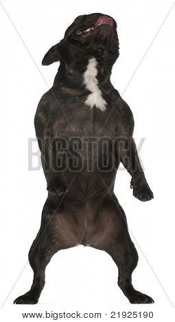 French Bulldog, 17 years old, standing in front of white background