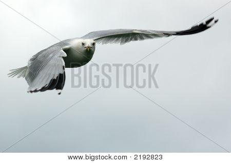 Seagul In Flight