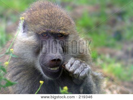 Baboon Dentistry