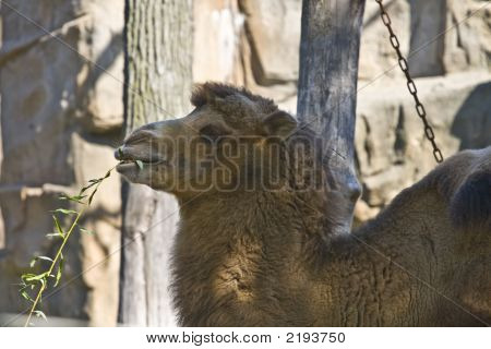 Camel Chewing Branch