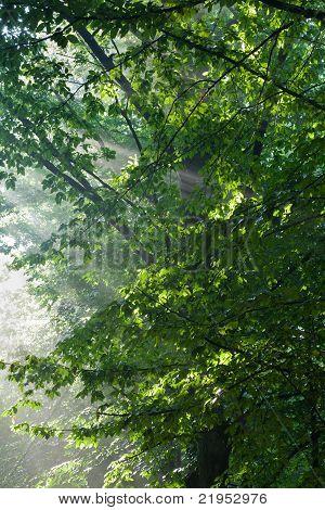Hornbeam Branches In Light Of Sunrise