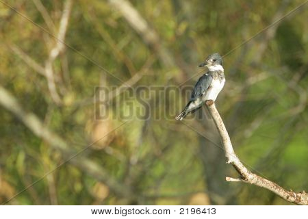 Belted Kingfisher _Mg_4703