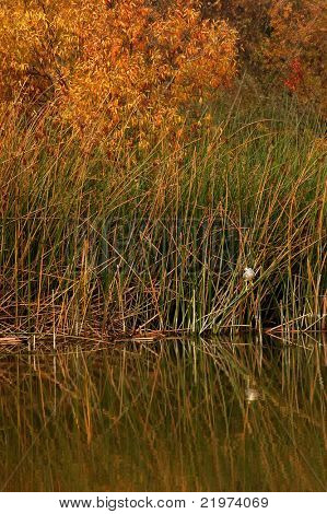Black-crowned Night Heron (Nycticorax nycticorax) in reeds with reflections