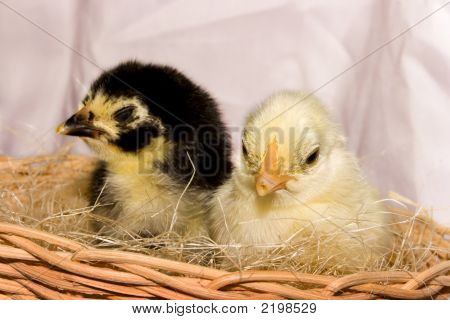 Cute Chicken Couple