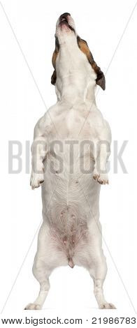 Jack Russell Terrier, 3 years old, standing in front of white background