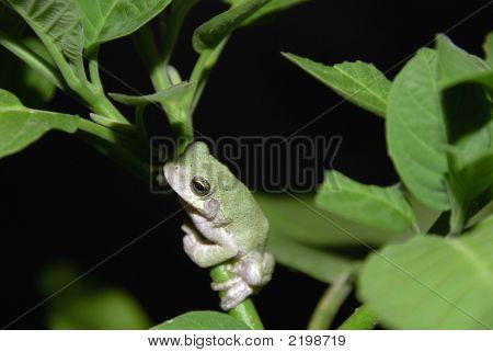 Grey Tree Frog At Night